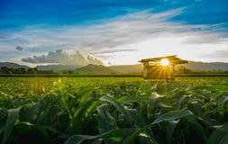 La capanna dell'agricoltore sul campo di grano verde in giardino e nella luce agricoli splende il tramonto Immagini Stock Libere da Diritti
