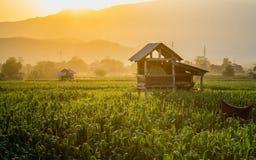 La capanna dell'agricoltore sul campo di grano verde in giardino e nella luce agricoli splende il tramonto Fotografia Stock Libera da Diritti
