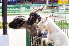La capra Immagini Stock