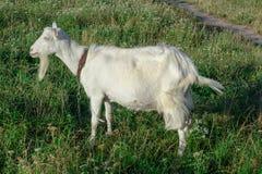 La capra bianca è ad erba sul campo del villaggio Fotografia Stock