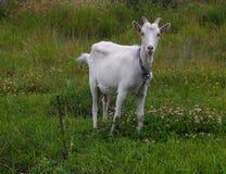 La capra bianca Fotografie Stock