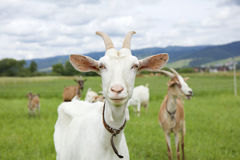La capra bianca Fotografie Stock Libere da Diritti