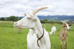 La capra bianca Immagine Stock Libera da Diritti
