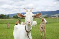La capra bianca Fotografia Stock