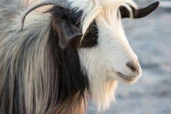 La capra bianca e marrone della capra sulle montagne si chiude su e testa del mammifero, animale da allevamento Immagine Stock