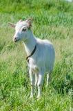 La capra bianca pasce in un prato Fotografia Stock Libera da Diritti