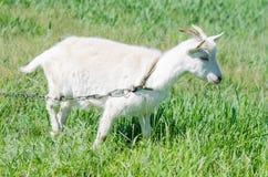 La capra bianca pasce in un prato Fotografie Stock