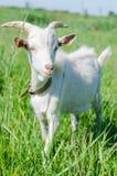 La capra bianca pasce in un prato Immagini Stock Libere da Diritti