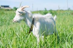 La capra bianca pasce in un prato Immagine Stock
