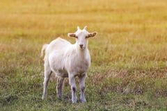 La capra che pasce su un prato si è sommersa da luce solare Fotografia Stock Libera da Diritti