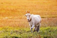 La capra che pasce su un prato si è sommersa da luce solare Fotografia Stock