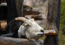 La capra curiosa trova l'apertura Immagini Stock