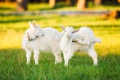 La capra del bambino pasce sull'erba verde dell'estate su Sunny Day Cibo della capra Fotografia Stock