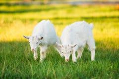 La capra del bambino pasce sull'erba verde dell'estate su Sunny Day Cibo della capra Fotografia Stock Libera da Diritti