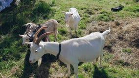 La capra del gregge con i corni pasce l'erba verde stock footage