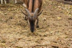 La capra di Brown mangia la museruola Fotografia Stock Libera da Diritti