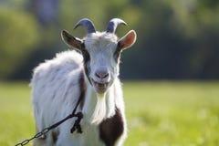 La capra domestica bianca e marrone con i corni ripidi lunghi, giallo osserva Fotografie Stock