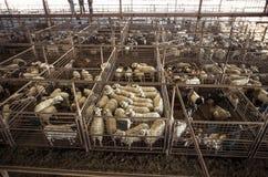 La capra e le pecore mettono all'asta il recinto per il bestiame in Fredericksberg, il Texas Immagine Stock