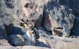 La capra Falconeri del Markhor immagini stock