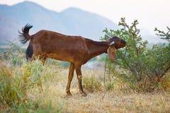 La capra mangia i cespugli spinosi Immagine Stock Libera da Diritti