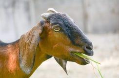 La capra mangia l'erba Fotografia Stock