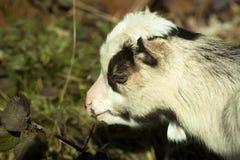 La capra mangia le foglie Immagine Stock Libera da Diritti