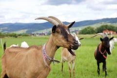 La capra marrone Fotografie Stock