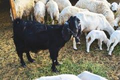 La capra nera mangia l'erba fra le pecore bianche Fotografie Stock