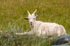 La capra pasce la montagna Fotografie Stock