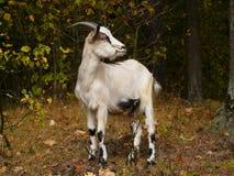 La capra pasce nella foresta, sul prato Fotografia Stock Libera da Diritti