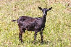 La capra a Santiago fa Cacem Fotografie Stock Libere da Diritti