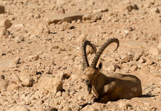 La capra selvaggia (aegagrus di Carpa) Fotografie Stock Libere da Diritti