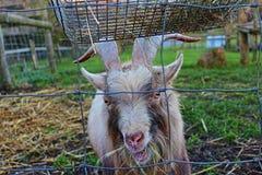 La capra sta masticando il fieno Fotografia Stock Libera da Diritti