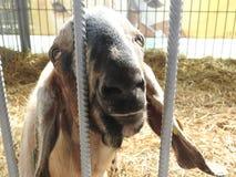 La capra sulla mostra di aminal Fotografie Stock