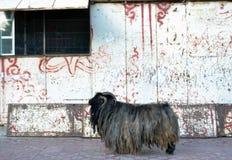 La capra tibetana della montagna con alcuni dreadlocks intorno a Labrang immagine stock libera da diritti