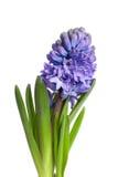 La capriata di giacinto blu Fotografia Stock Libera da Diritti