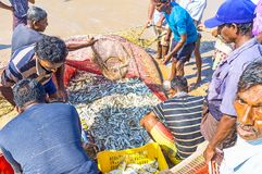 La captura fresca del equipo de la pesca de Bentota Imagen de archivo