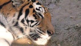 La cara de un cierre del tigre para arriba almacen de metraje de vídeo