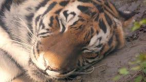 La cara de un cierre del tigre para arriba metrajes