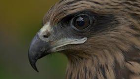 La cara de un halcón almacen de video