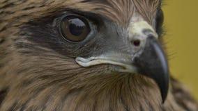 La cara de un halcón almacen de metraje de vídeo