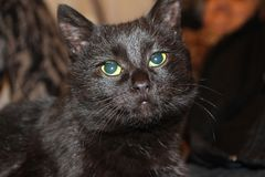 La cara de un pequeño gatito del gato negro en mi casa un animal femenino hermoso imagen de archivo