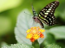 La cara de una mariposa Foto de archivo libre de regalías