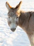 La cara del burro en invierno Fotos de archivo libres de regalías