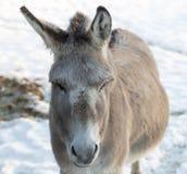 La cara del burro en invierno Imagenes de archivo
