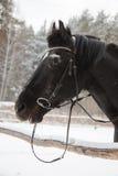 La cara del caballo negro Foto de archivo