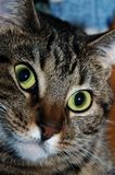 La cara del gato (vertical) Imágenes de archivo libres de regalías