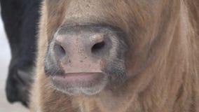 La cara del primer de la vaca, abre lentamente la boca almacen de metraje de vídeo