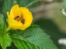 La cara del ` s de la abeja es llena de polen Fotografía de archivo libre de regalías