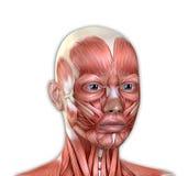 La cara femenina Muscles la anatomía Imágenes de archivo libres de regalías